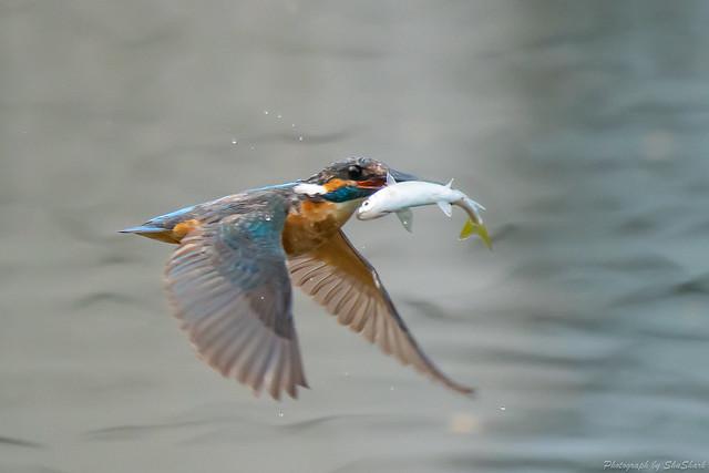 20180628-kingfisher-DSC_4624