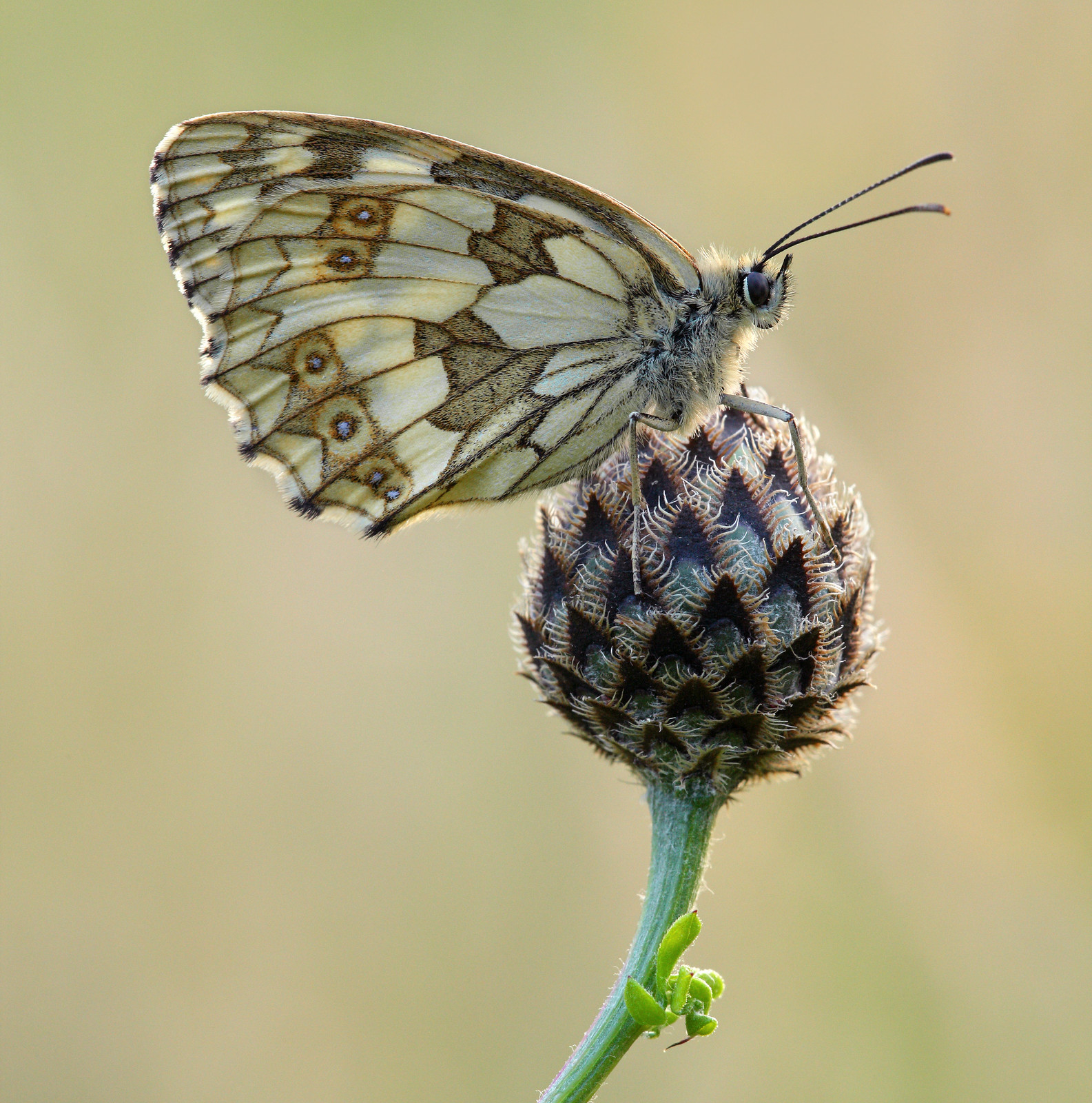 Female Marbled White