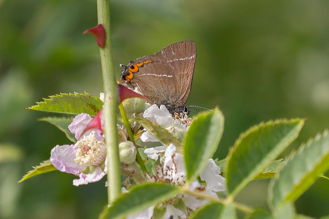 White-Letter Hairstreak, Canon EOS-1D MARK IV, Canon EF 100-400mm f/4.5-5.6L IS II USM