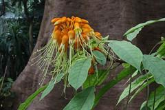 Hernandiaceae
