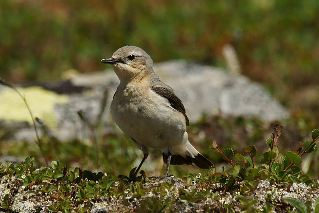 Northern wheatear - Oenanthe, Sony SLT-A77V, 70-400mm F4-5.6 G SSM