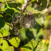 Wasp Spider in the bushes