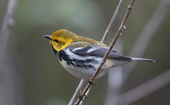 Black-throated Green Warbler [male]