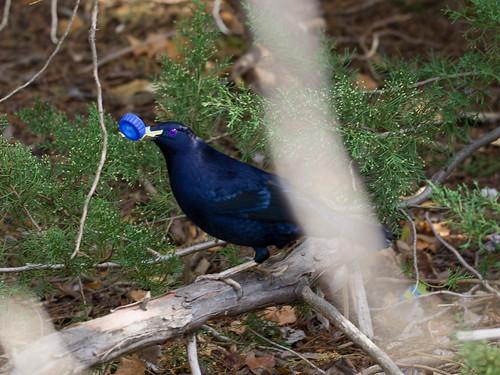Satin Bower Bird Encounter 5 - Ptilonorhynchus violaceus - Barton - ACT - Australia - 20180611 @ 11:15 to 12:00