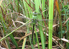 Emperor Dragonfly Anax imperator Tophill Low NR, East Yorkshire May 2018