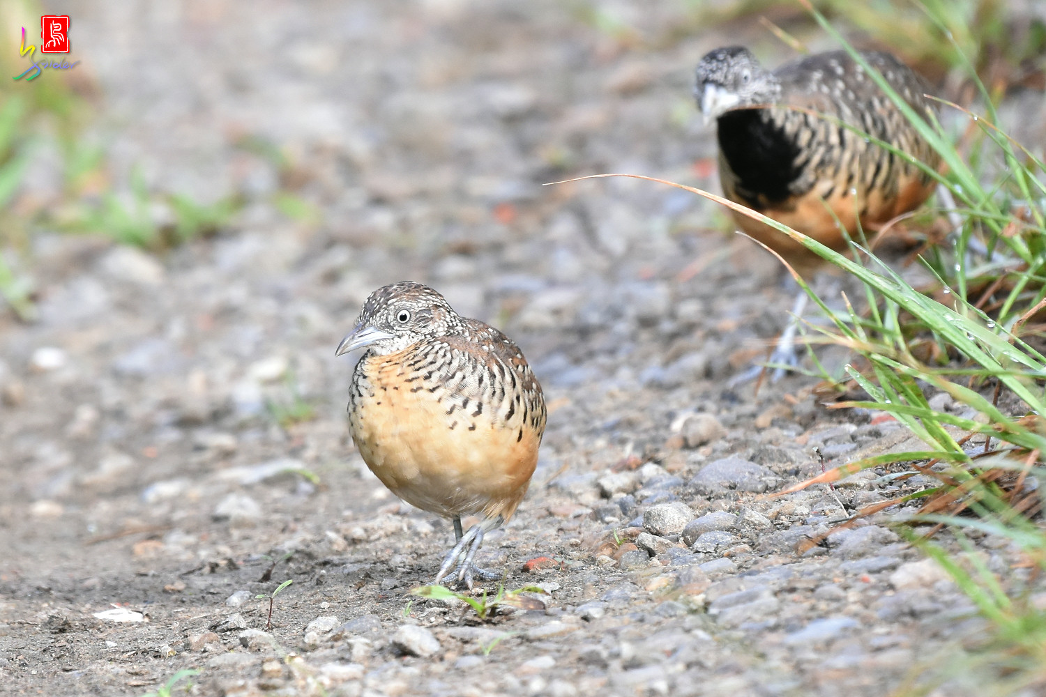 Barred_Buttonquail_7194