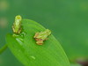 Photo:Japanese tree frogs (ニホンアマガエル) By Greg Peterson in Japan