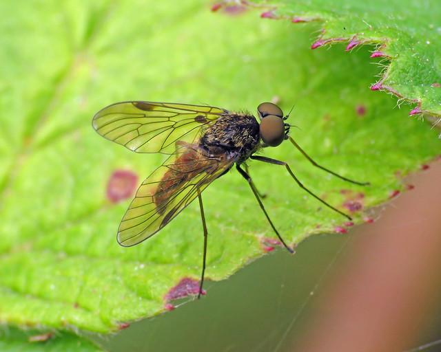 Black Snipefly - Chrysopilus cristatus