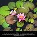 Water Lilies Gratitude