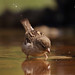 gorrión común (Passer domesticus)