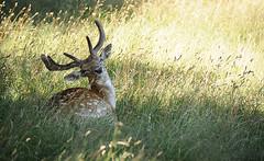 Fallow Buck in Shade
