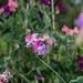 Scotland's Gardens Craigintinney Telferton July 2018 -62