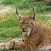 Linde Boreal (Lynx Lynx) - Galán