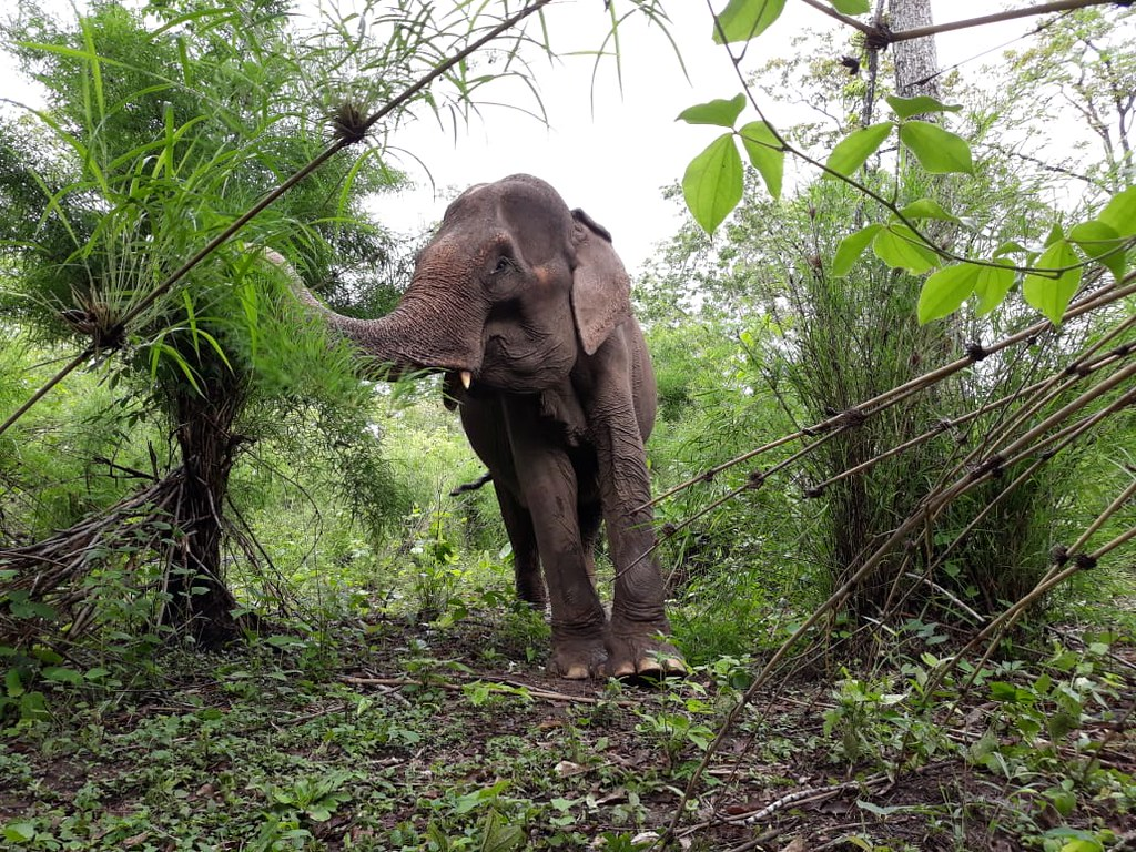 Elephant Hnol, formerly of Yok Don National Park