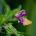 Skipper butterfly on great willowherb flower