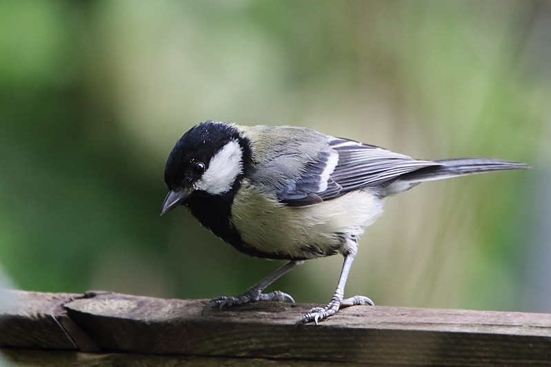 Great Tit, Garden