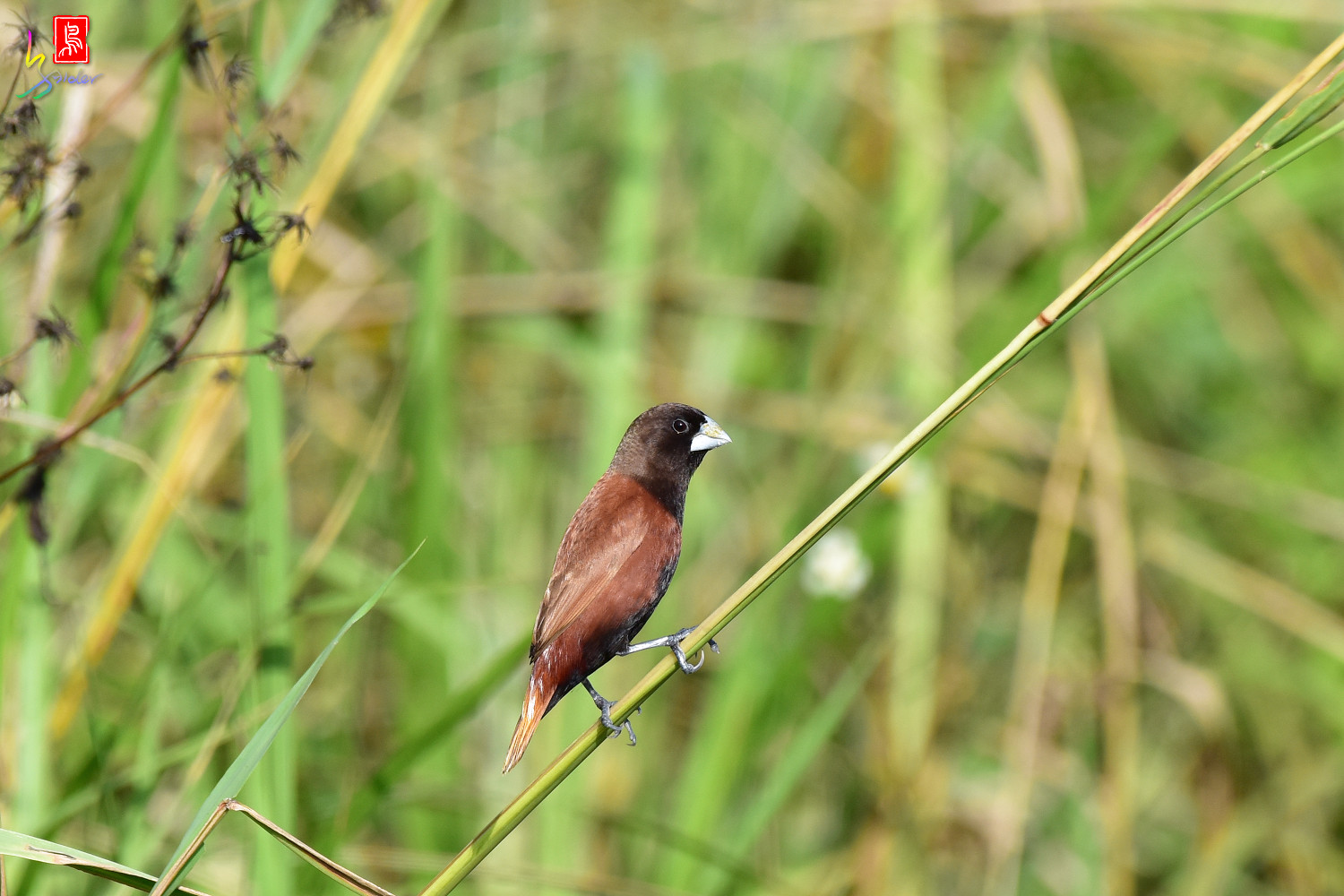 Chestnut_Munia_3807