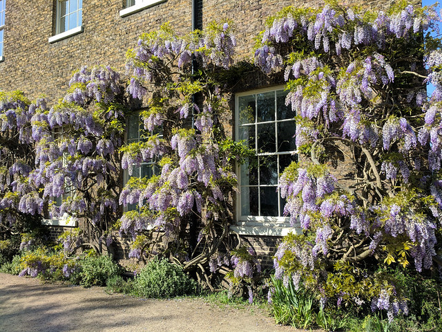 wisteria @ Fulham Palace