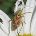 Bug  (Rosy Mirid?)