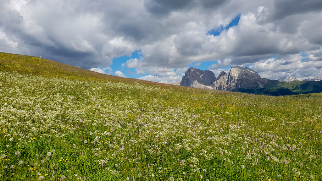 Alpine meadow - Laserpitium halleri