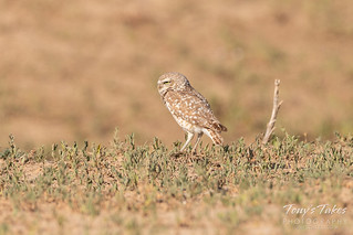 Male Burrowing Owl keeping watch on his family