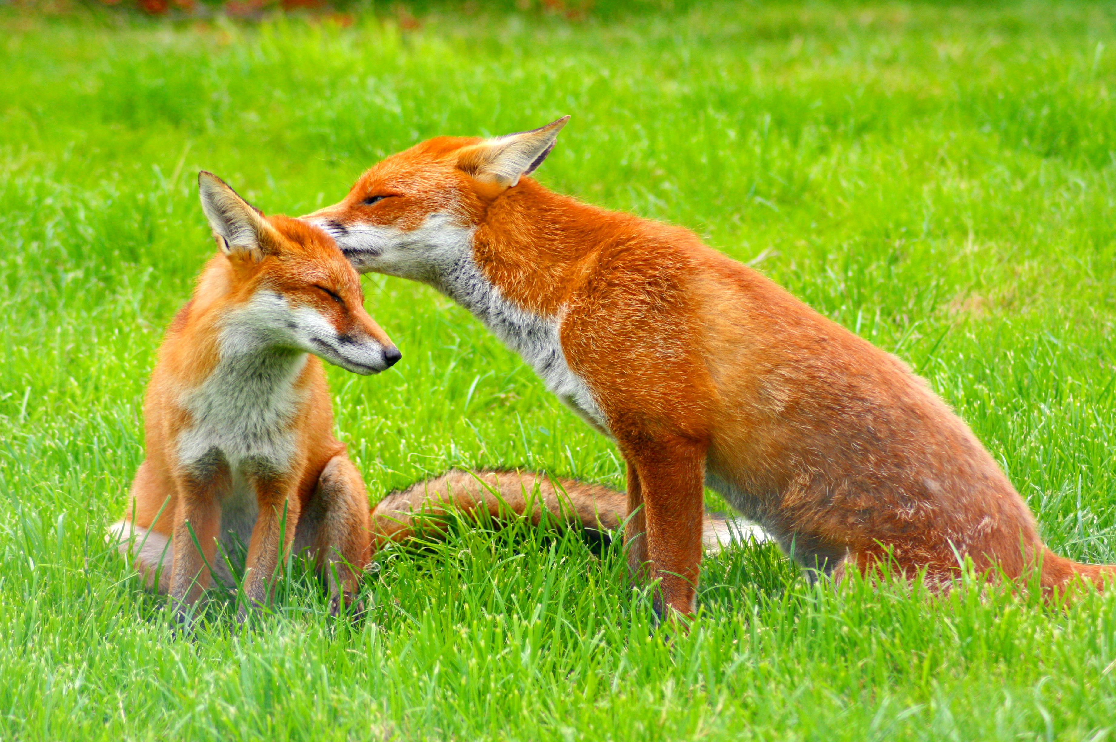 A pair of European red foxes (Vulpes vulpes) at the British Wildlife Centre, Surrey, England. Photo taken on Sunday August 17, 2008.