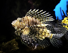 024693763456-102-Lionfish-2