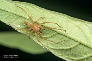 Sac spider (cf. Cheiracanthium sp.) - DSC_4936