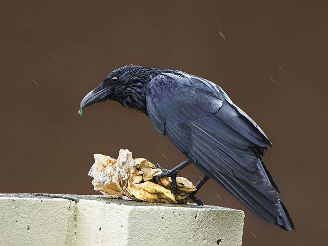 Carrion Crow ( Corvus Corone )- Wet but not half soaked !! !