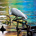 Great Egret and rainbows
