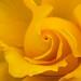 Yellow Rose, 5.4.18