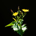 Sow thistle overhanging canal