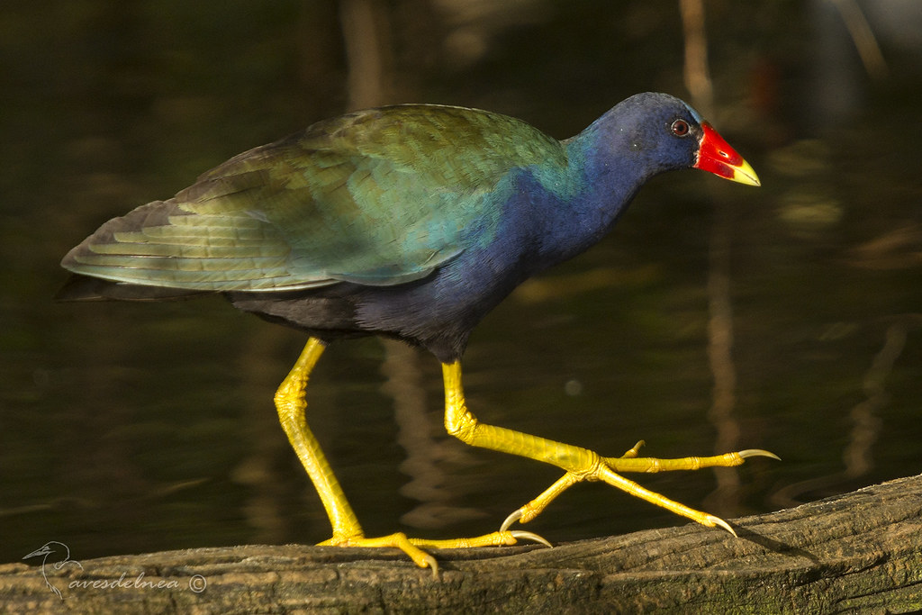 Pollona azul (Purple gallinule) Porphyrio martinica