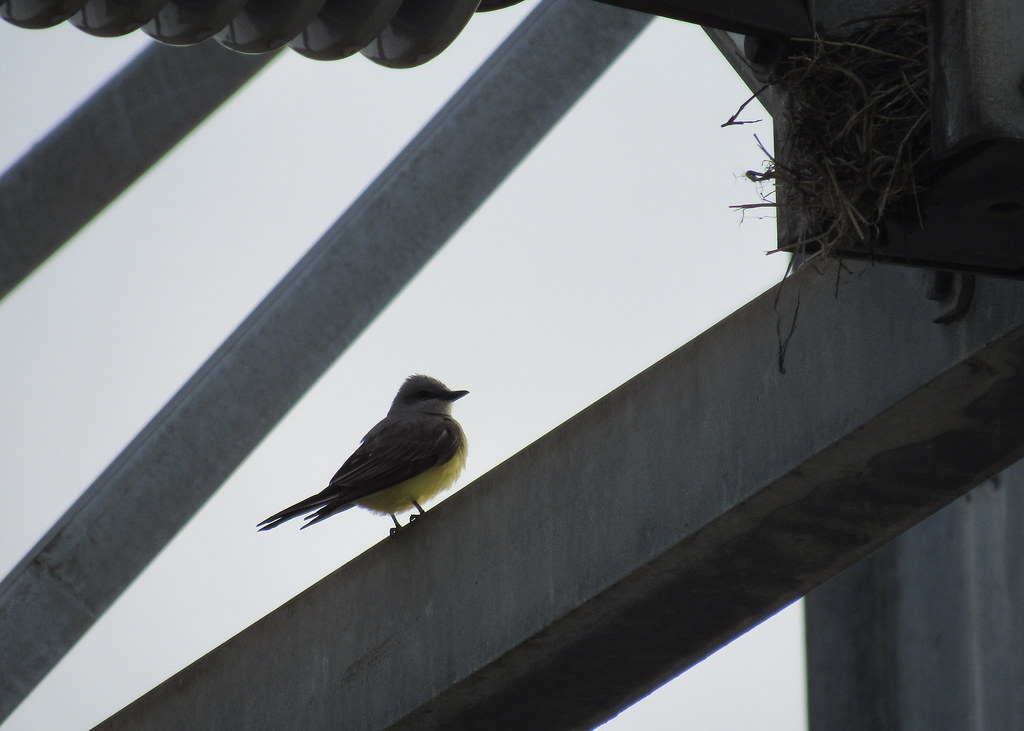 Western Kingbird and nest