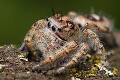 Tan Jumping Spider [Platycryptus undatus]