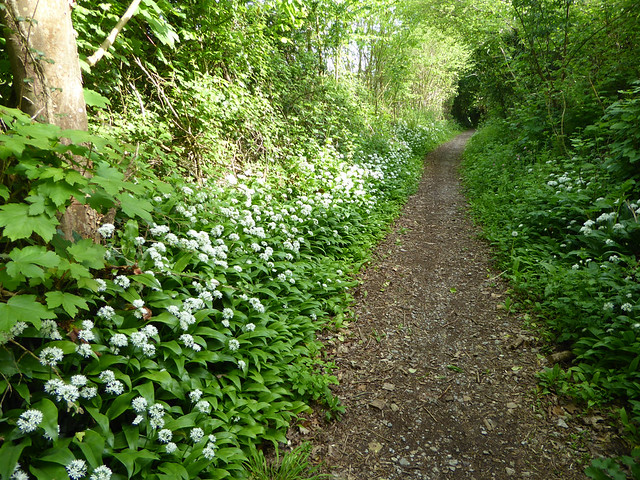 Wild Garlic on Fishchowter's Lane, Totnes