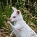 Albino Wallabi
