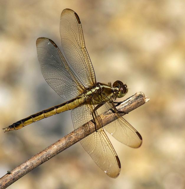 Dragonfly_5191, Nikon D7100, AF Nikkor 300mm f/4 IF-ED