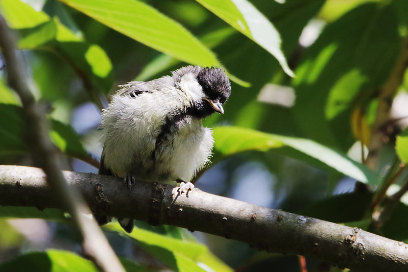 Juvenile Great Tit, Garden