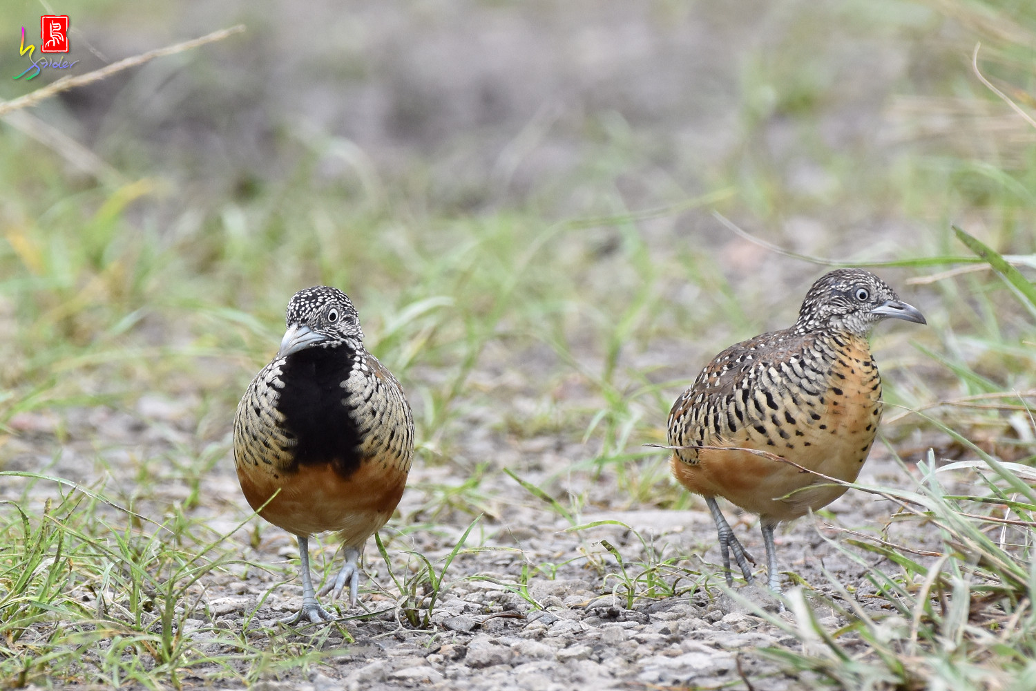 Barred_Buttonquail_5059
