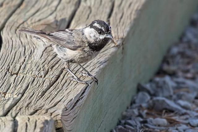 Mountain-Chickadee-78-7D2-070518
