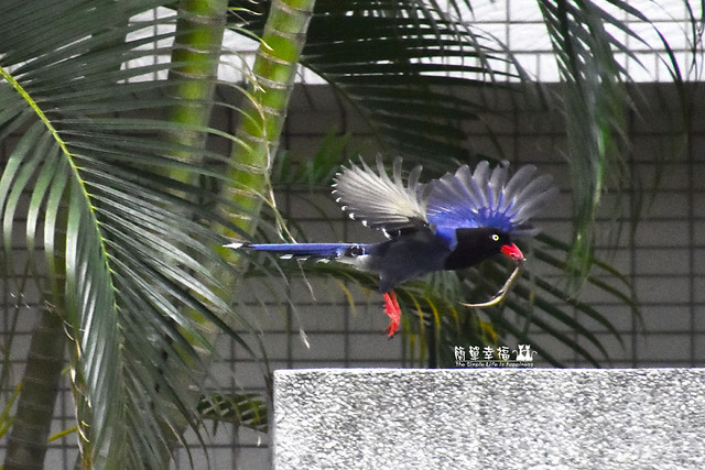 20180429 藍鵲 (23), Nikon D5500, AF DC-Nikkor 135mm f/2D