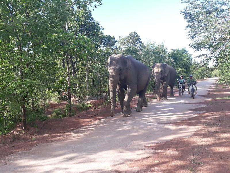 Two of Yok Don National Park's three remaining elephants_july2018