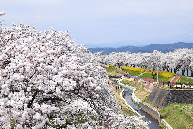 1000 Riverside Sakura Blossom