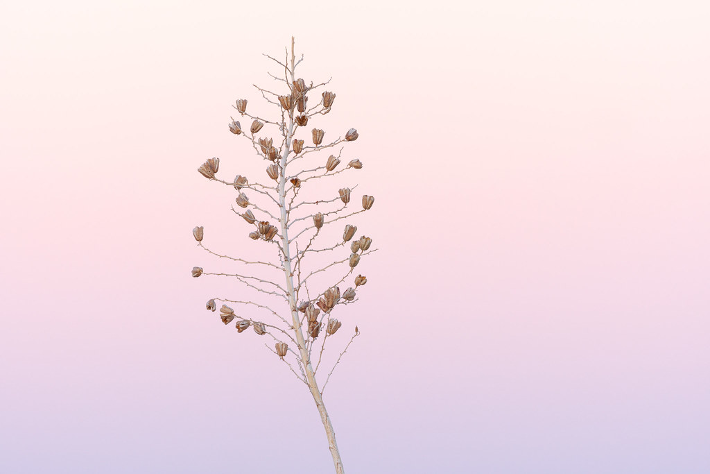The dried flowers of a soaptree yucca set against a pink and purple sky at sunrise on the Hackamore Trail in McDowell Sonoran Preserve