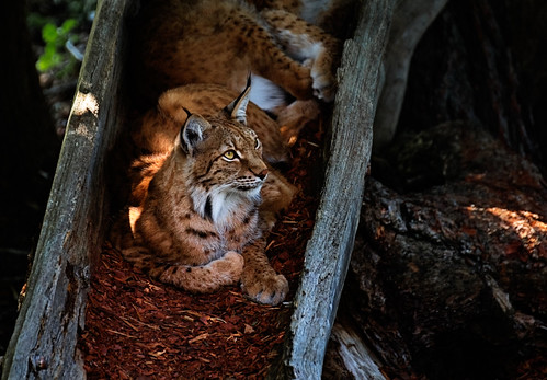 Eurasian Lynx resting inside a tree trunk