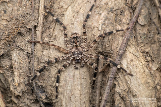 Flatty spider (Selenops sp.) - DSC_3036