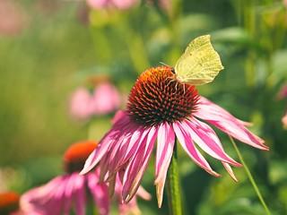 20180715-153912 - flower papillon bokeh
