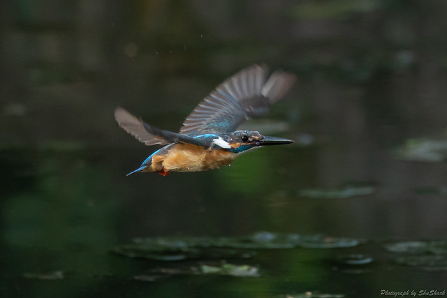 20180713-kingfisher-DSC_5973