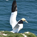 Gannet spreads his wings